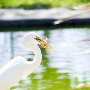 White bird eating fish