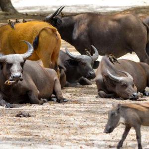 Senegal-buffalo
