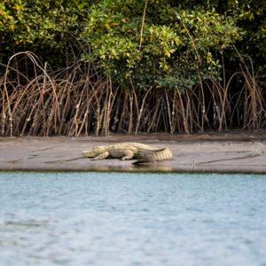 Crocodile on riverbank