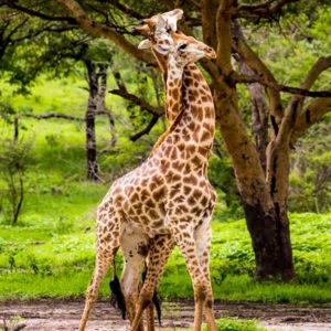 giraffes crossing necks