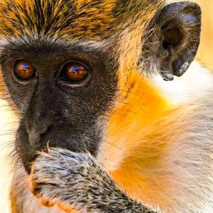 monkey face closeup