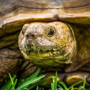 Fathala tortoise