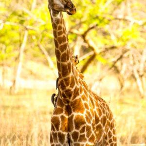 Giraffe with birds