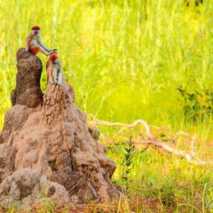 Monkeys on termite mound