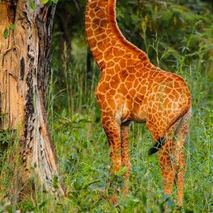 Baby giraffe eating leaves