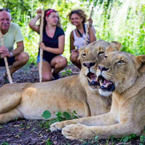 Senegal lion encounters