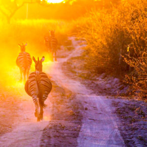 Zebra running into sunset