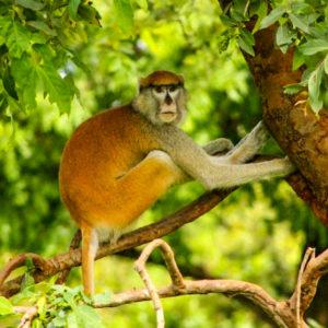 Monkey in tree safari reserve