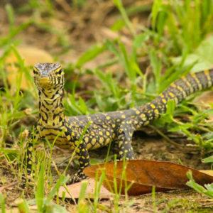 Reptile in grass