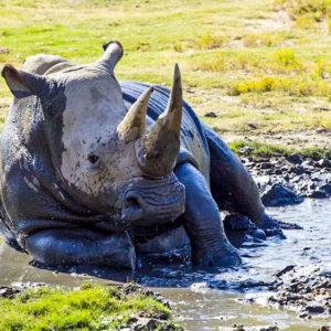 Rhino lying in mud