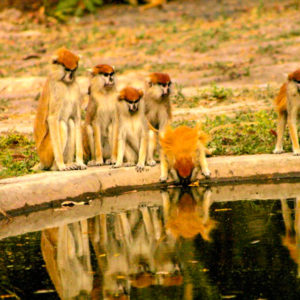 Monkeys at waterhole
