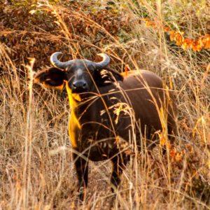 Wild buffalo in grass