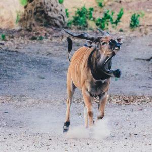 fathala wildlife running