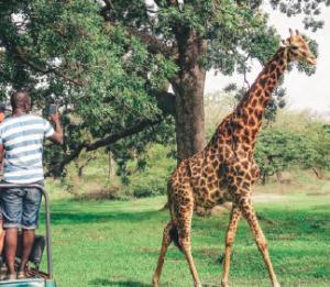 giraffes game drive