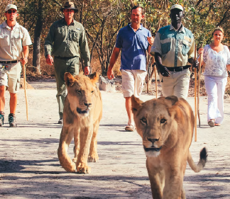 Lion encounters guests