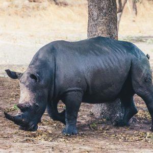 Rhino by tree