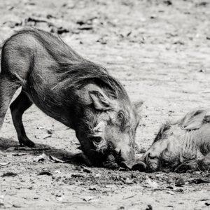 Two warthogs playing