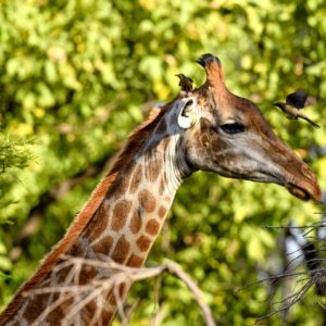 African giraffe and birds