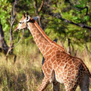 African Giraffe in wild