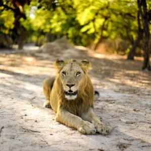 Senegal male lion