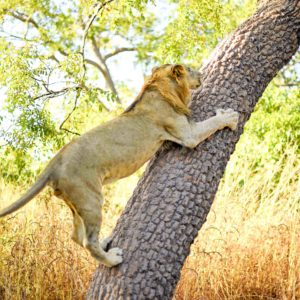 Lion climbing up tree