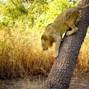 Lion climbing down tree
