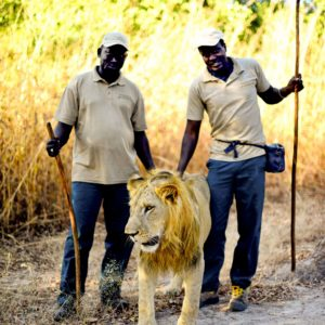 Senegal lion with safari guides