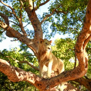 Senegal safari lion in tree