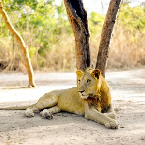 Senegal safari male lion