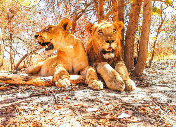 Two lions lying down