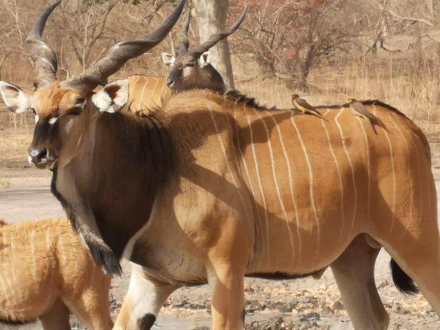 Western Derby Eland in Fathala Wildlife Reserve