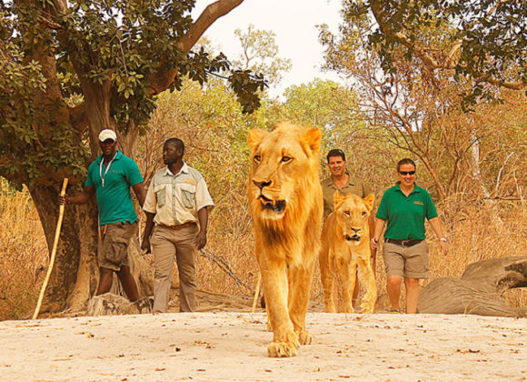 Fathala Lion Walk Encounters