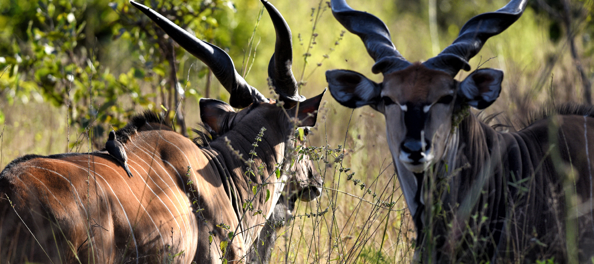 Two elands in bush