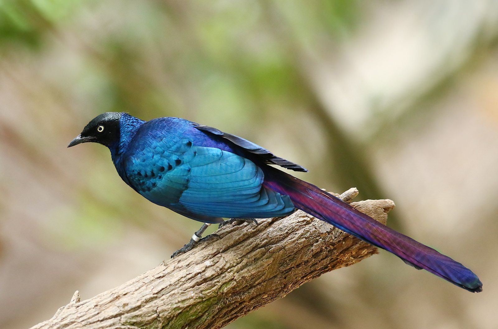 Long Tailed Glossy Starling