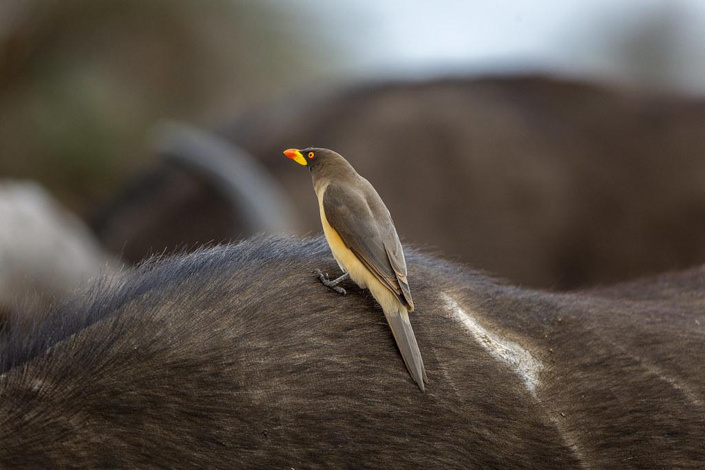 Ox Pecker