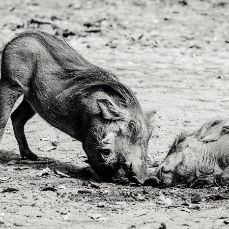 warthogs-playing-fathala