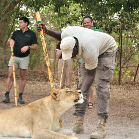 fathala-lion-encounter